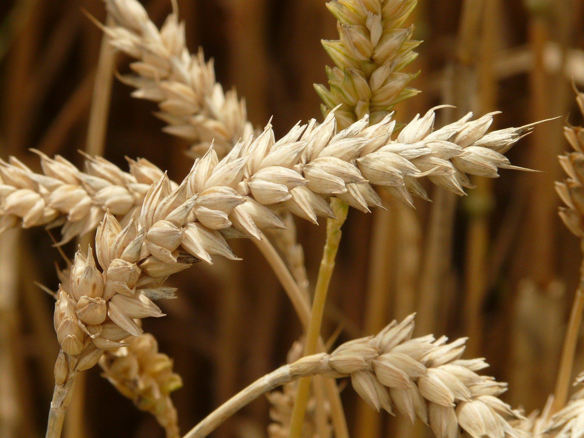 Schach Weizenkornlegende/Reiskörner